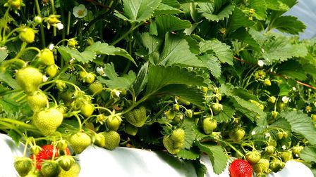 Strawberries ripening at Lodge Farm, Lindsey Picture: ANDREW STURGEON