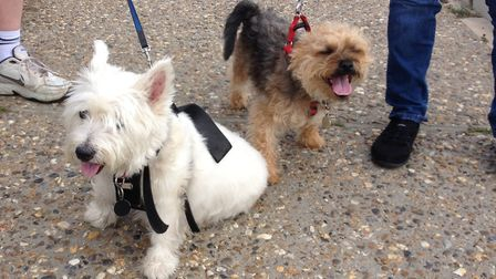 Westies will take part in the walk in Colchester. Stock photo. Picture: ANDREW HIRST