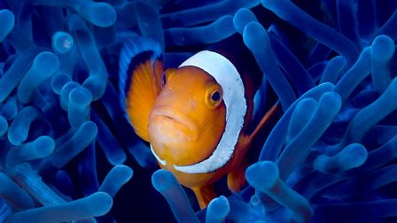 Life can be one mild threat after another for a clown fish. Picture: Getty Images/iStockphoto