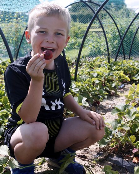 A green fingered thief enjoying the strawberry crop Picture: MICK WEBB