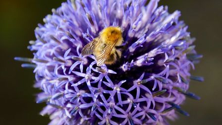 Close up of a bee collecting nectar Picture: JULIE KEMP