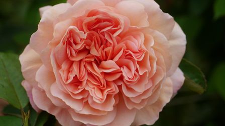 A climbing rose in the garden Picture: JANE DEVILLE