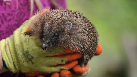 Hedgehogs are now endangered -Suffolk Prickles based in Stonham have been sharing tips for making yo