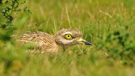 Stone curlew at Minsmere Picture: Jon Evans