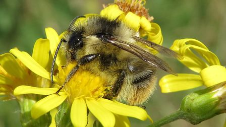 Shrill carder bee Picture: Falk/Buglife