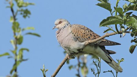 Turtle Dove at Titchwell RSPB Nature Reserve, Norfolk Picture: LES BUNYAN/RSPB