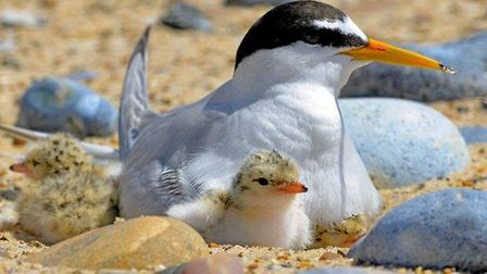 Little tern and chick Picture: RSPB