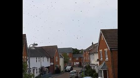 The swarm of bees in Colchester Picture: RHIANN JOHNSON
