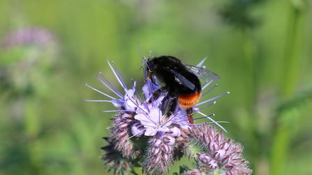 A red tailed bumblebee on Phacelia at Dingley Dell pig farm near Woodbridge Picture: MARK HAYWARD