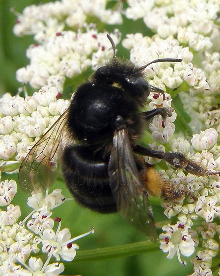Great yellow bumblebee Picture: Flak/Buglife