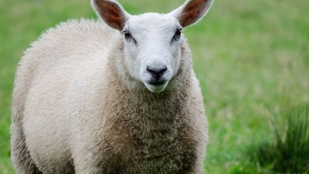A herd of sheep had escaped from Baylham House Rare Breed Farm in Suffolk. Picture: GDS/GETTY IMAGES