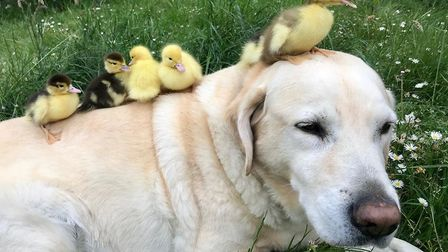 As soon as he saw the little ducklings huddled together, the 11-year-old Labrador jumped at the chan