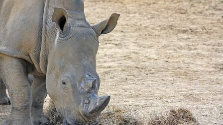 Emily the white rhino at colchester Zoo is now eight months pregnant, with the zoo expecting a new r
