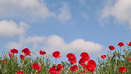 Poppies Picture: STEVE COATES