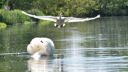 A swan taking flight on the River Stour Picture: JANICE POULSON