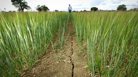 An example of a barley field affected by drought in East Anglia Picture: ANGELA SHARPE