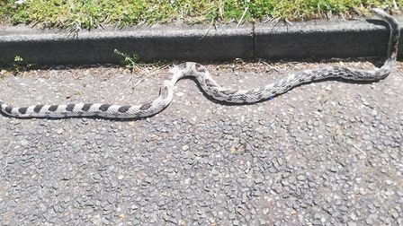 The six-foot-long snake shortly before it was rescued in Bury St Edmunds Picture: LIAM HAYES
