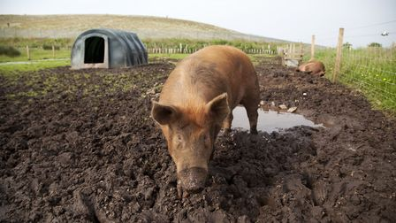 Pig farms are also responsible for ammonia emissions Picture: GETTY IMAGES