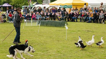 K9 Quackers, hilarious entertainment provided by asbo ducks and their minder sheepdogs at the Rendle