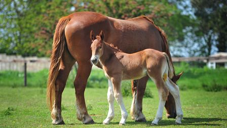 The Suffolk Punch Trust has a new addition. Colony Fern was born to Vumba Deeanne on the 12th May, 2
