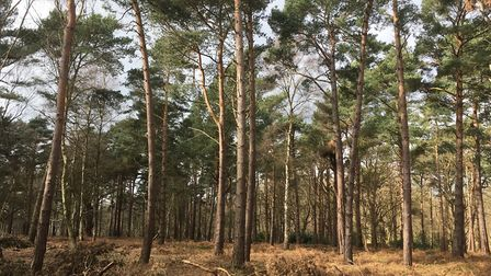 Woodland on the Somerleyton Estate Picture: Ross Bentley