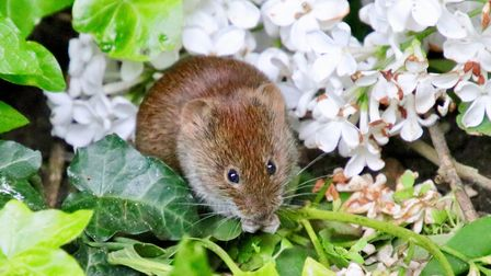 A small vole amongst the flowers Picture: JULIE KEMP