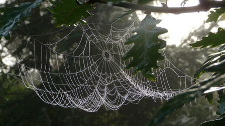 Spiders web on the tree Picture: JANE DEVILLE