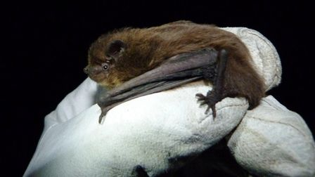 A Nathusius' Pipistrelle, from the Bat Conservation Trust Picture: DANIEL HARGREAVES