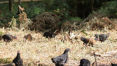 Hole Farm at Belchamp St Paul is branching out by rearing Norfolk Black free range chickens Picture