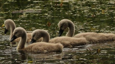 A mum and signets on the River Stour at Melford Country Park Picture: STEPHEN ASKEW