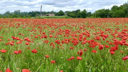 A field full of poppies in Hadleigh Picture: PETER CUTTS