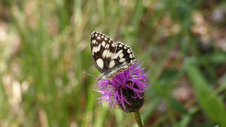 Marbled white Picture: David Walsh