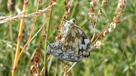 Mating marbled white butterflies Picture: David Walsh