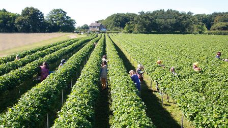 Tiptree's annual strawberry race: overhead shot of pickersPicture; DOUG BLANKS