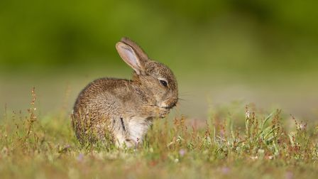 A young rabbit in the Suffolk Coast & Heaths AONB Picture: PAUL SAWYER