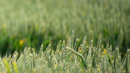 Wheat crops are looking promising - so far Picture: SARAH LUCY BROWN