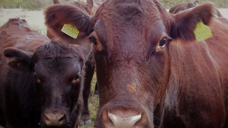 Lord Deben breeds Red Poll cattle on his Suffolk estate Picture: Julie Kemp