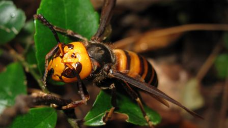 Asian Hornet Picture: Wiki Creative Commons