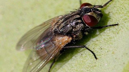The domestic fly. The numbers of these pests in Suffolk and Essex soars every summer - here's the be