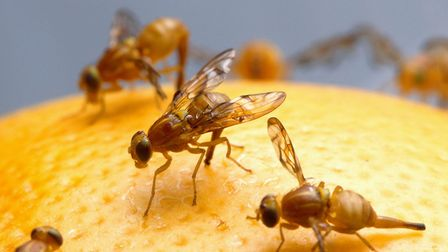 Fruit flies are attracted to any sweet foodstuffs, which are easier to get to in the summer months t