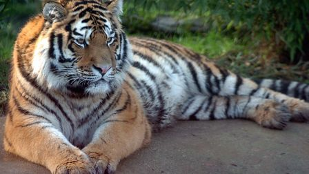 Igor the Amur tiger is the father of the three cubs. Picture: JAMES FLETCHER