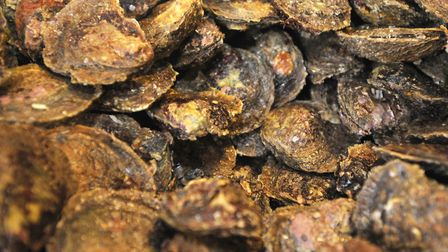 Many oyster from Mersea are prepared for Colchesters Oyster Feast. Picture: Su Anderson