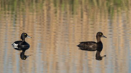 Ducks at Carlton Marshes. Picture: CHRISTOPHER CROSS