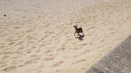 The deer was spotted scampering along the beach towards Holland-on-Sea Picture: MICHAEL PUNTSCHART