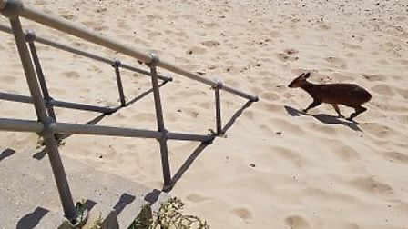 The muntjac reportedly jumped into the sea and ended up on the Clacton beach Picture: MICHAEL PUNTSC