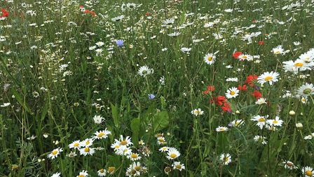 A wildflower meadow to encourage pollinating insects at EJ Barker & Sons family farm at Westhorpe Pi