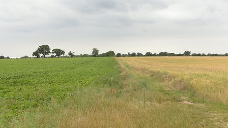 Crops in a Suffolk field in July 2019, during the run-up to harvest Picture: SARAH LUCY BROWN