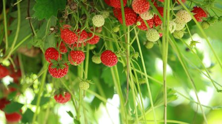 Tiptree Little Scarlet strawberries ready for picking Picture: IAN CLARK