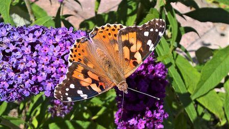 Painted lady Picture : Kevin Ling