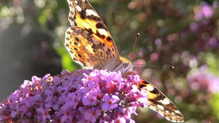 Painted lady Picture: Kevin Ling